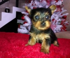 breeder pups Yorkshire terrier