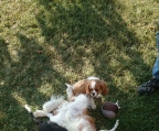 For sale Cavalier King Charles Spaniel