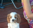 Puppies for sale Cavalier