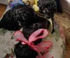 Puppies Poodle