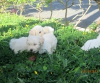 Puppy for sale Bichon frise