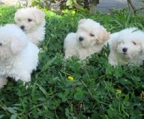 Puppies white 6 weeks breed Bichon frise