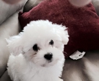 3 Puppies Bichon frise sale