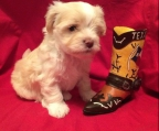 For sale Havanese, males and females