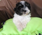 Pups Havanese for sale