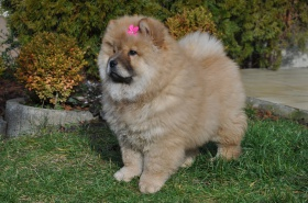 Chow-Chow-puppies