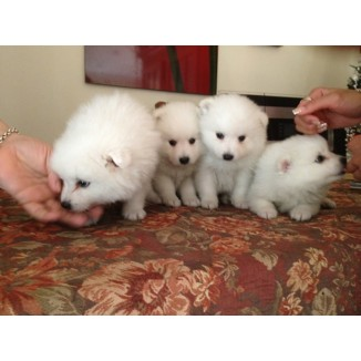 Japanese Spitz Pupz **champion bloodlines** for Sale