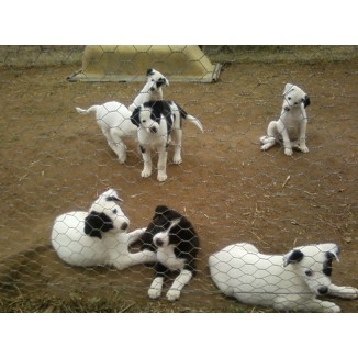 Border Collie Purebred Puppies