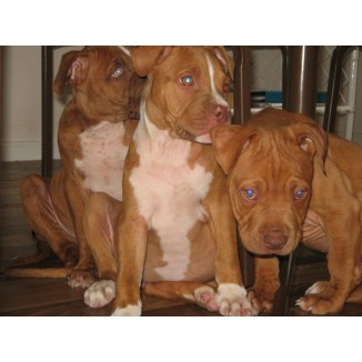 American Staffordshire Terrier Purebred Puppies Available Now.