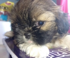 CUTE MALE AND FEMALE PUPPY SHIH TZU