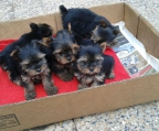 yorkie sell