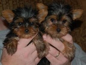 Precious Yorkshire Terrier Puppies for sale