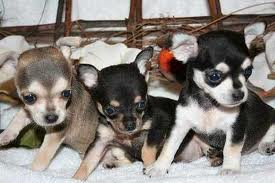 Healthy Chihuahua puppies