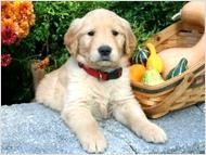 Golden Retriever Puppy available now.