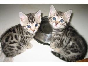 Home Trained Male And female bengal kittens for sale .