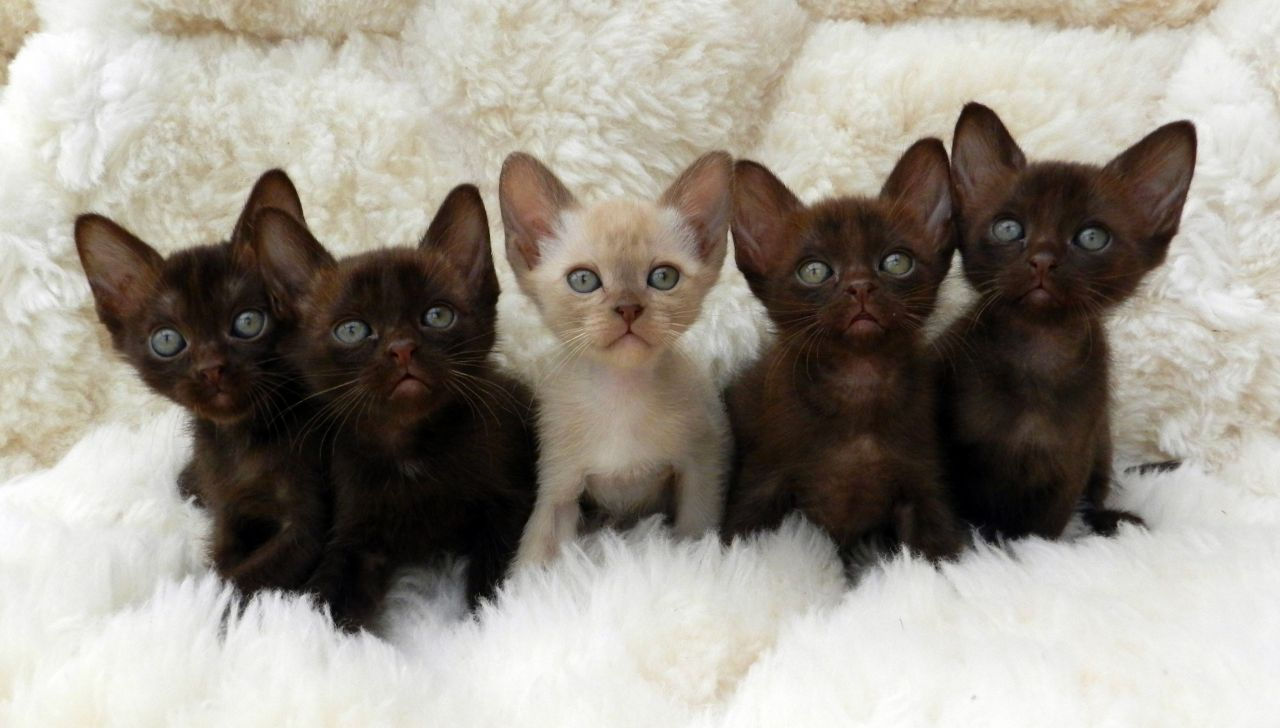 Beautiful Asian Burmese Kittens