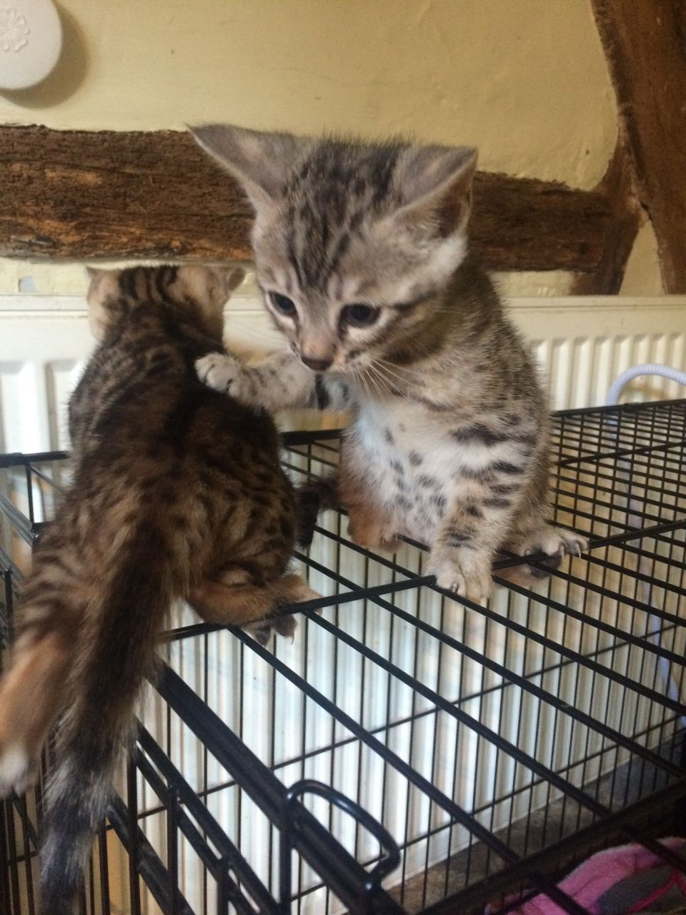 Gorgeous Pedigree Registered Bengal Kittens