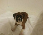 boxer puppies price