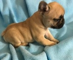 french bulldog fawn puppies price
