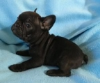 frenchie puppies ireland