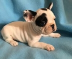 french bulldog breeders