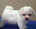 bichon frise puppies sale