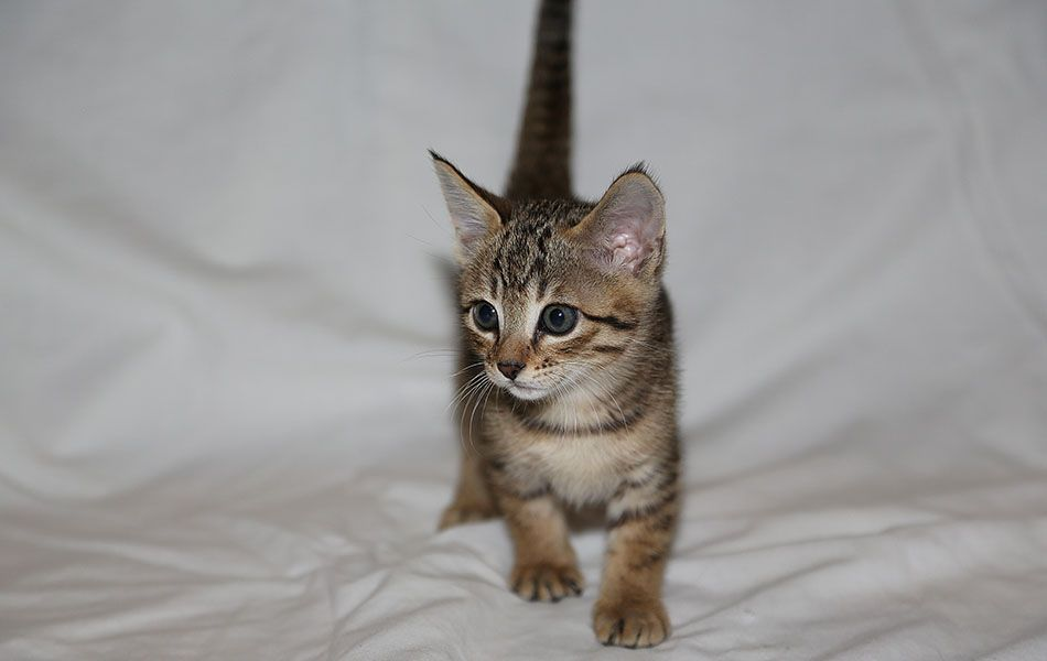 Gorgeous Tica Reg  Savannah Kittens