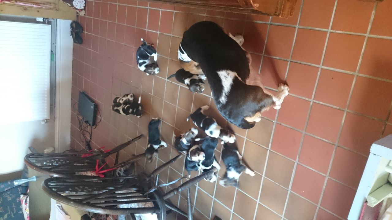 Beautiful Socialised Basset Hound Puppies For Sale