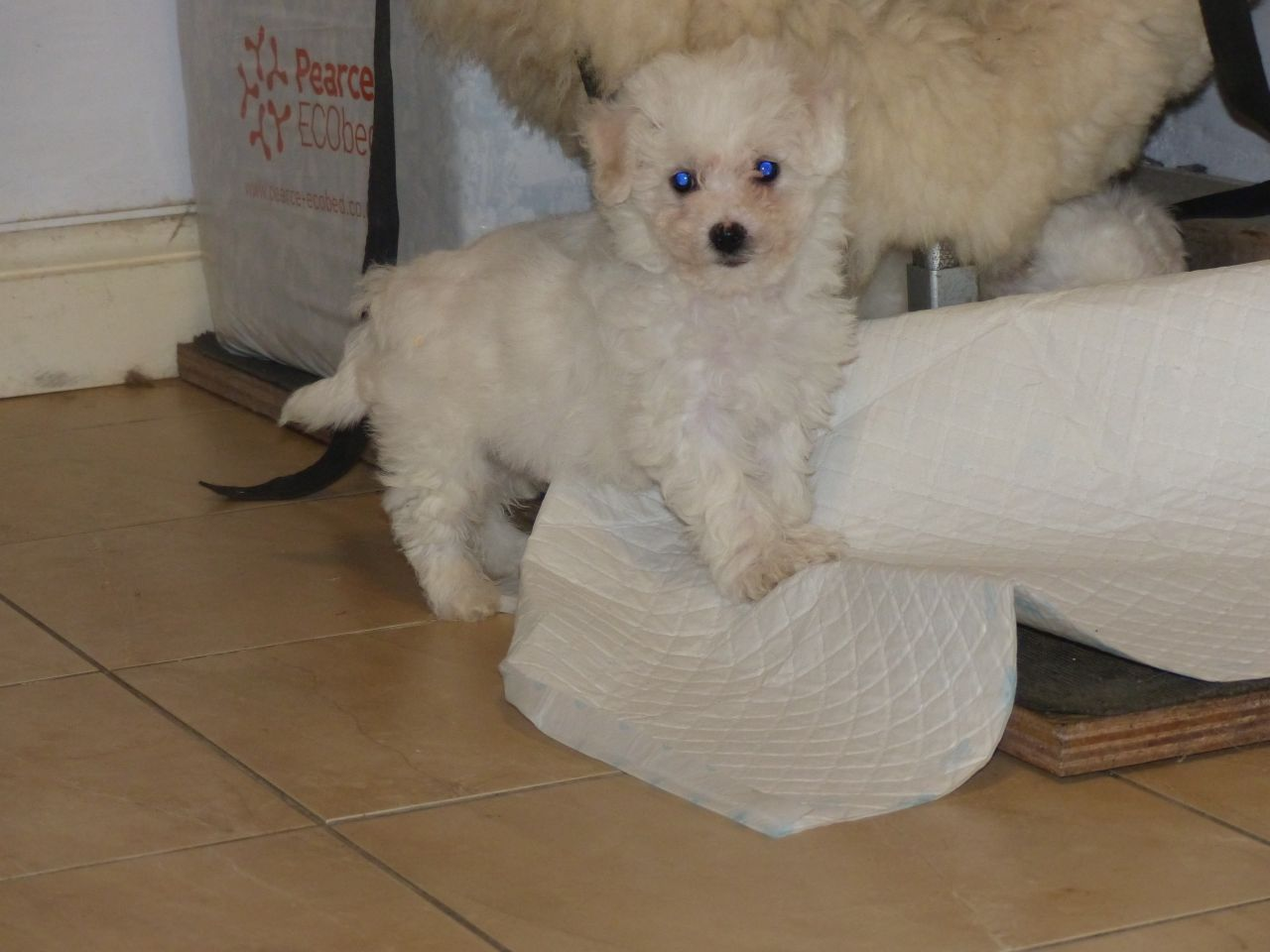 Beautiful Little Bichon Frise Babies