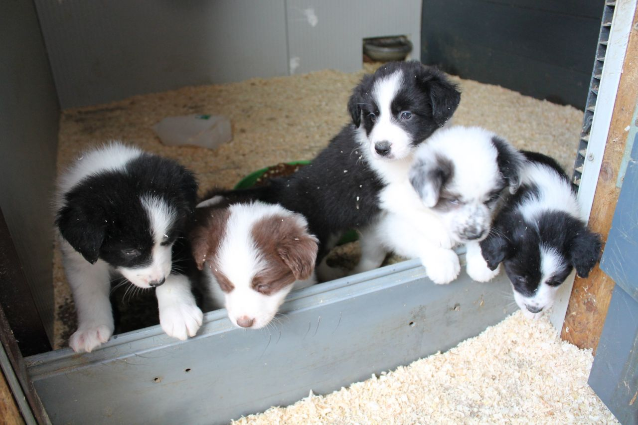 Stunning Litter Off Border Collie Puppies