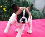 Breeders in Ireland Bulldog french