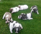 Puppies for sale French bulldog