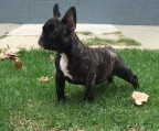 Pups 8 weeks  French bulldog