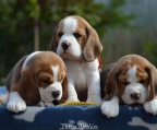 4 Puppies Beagle for sale