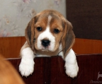 Beagle Puppies males and females