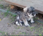 cute Puppies breed Schnauzer