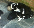 Puppies for sale Border Collie