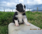 Puppy male Border collie