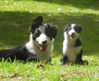 Puppies 6 weeks for sale breed Border collie