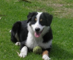 last pup in sale Border collie