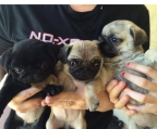 Pugs puppies Ireland
