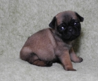 Pug Puppies For Sale, 1 boy 6 girls born
