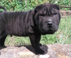 shar pei 3 puppies