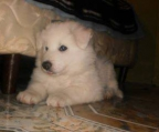 puppies for sale samoyed
