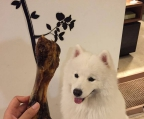 puppies samoyed have 2 month