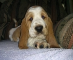 Breeders Basset Hound in ireland