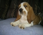 Price for sale Basset Hound
