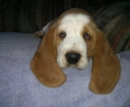 Puppies sales Basset Hound