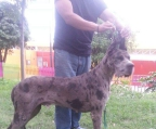Pup for sale great dane
