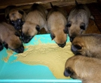 malinois Breeders ireland